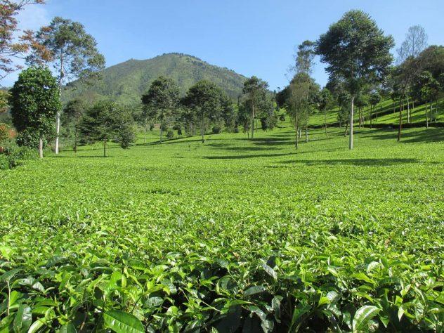 Agrowisata Tambi Wonosobo