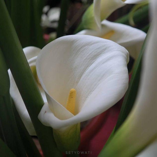 Perawatan bunga kalalili